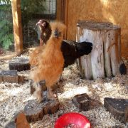 Tic Toc Nursery Chickens