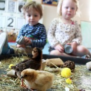 New born chicks at Tic Toc Nursery